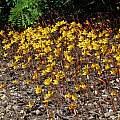 Habranthus tubispathus, Nhu Nguyen
