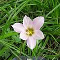 Habranthus tubispathus var. roseus, Lee Poulsen