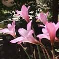 Habranthus x floryi, Barbara Weintraub