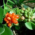 Haemanthus albiflos, fruit, Cameron McMaster