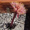 Haemanthus amarylloides ssp. polyanthus, Nhu Nguyen
