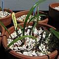 Haemanthus barkerae seedlings, Nhu Nguyen