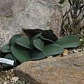 Haemanthus coccineus, UC Botanical Garden, Nhu Nguyen