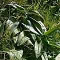 Haemanthus coccineus leaves, Cameron McMaster