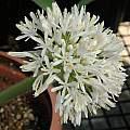 Haemanthus humilis ssp. humilis, white form, Mary Sue Ittner