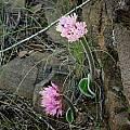 Haemanthus humilis, Rhodes, Cameron McMaster