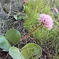 Haemanthus humilis subsp. humilis, Thomas River form, Cameron McMaster
