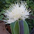 Haemanthus humilis subsp. hirsutus, Doug Westfall