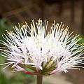 Haemanthus humilis subsp. hirsutus, Cameron McMaster [Shift+click to enlarge, Click to go to wiki entry]