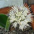 Haemanthus humilis subsp. hirsutus,  Uluwehi Knecht