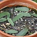 Haemanthus humilis subsp. humilis, Jacob Uluwehi Knecht