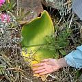Haemanthus leaves of Haemanthus sanguineus, Roy Herold