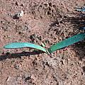 Haemanthus pubescens subsp. arenicolus, Alan Horstmann