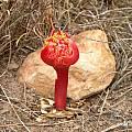 Haemanthus sanguineus, Cameron McMaster