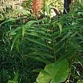 Hedychium 'Dave Case', Alani Davis