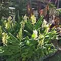 Hedychium Devon Cream, Angelo Porcelli
