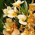 Hedychium 'Dr. Moy' flowers, Alani Davis