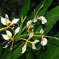 Hedychium 'Filigree', Alani Davis