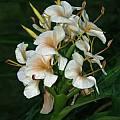 Hedychium 'Kinkaku', Alani Davis