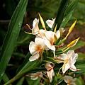 Hedychium 'Kinkaku' flowers, Alani Davis