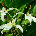 Hedychium 'Luna Moth', Jay Yourch