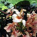 Hedychium 'Pink V', Alani Davis
