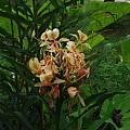 Hedychium 'Sherry Baby', Alani Davis