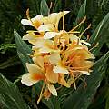 Hedychium 'Tahitian Flame', Angelo Porcelli