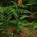 Hedychium densiflorum 'Tara', Jay Yourch