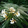 Hedychium 'Vanilla Ice', Alani Davis