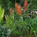 Hedychium 'Slim's Orange', Jay Yourch