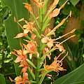 Hedychium coccineum var. angustifolium, Antigoni Rentzeperis