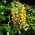 Hedychium gardnerianum, Alani Davis