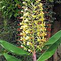 Hedychium gardnerianum, David Victor