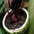 Helicodiceros muscivorus, Angelo Porcelli