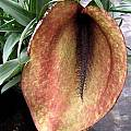 Helicodiceros muscivorus, Diana Chapman