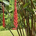 Heliconia stilesii, Nhu Nguyen