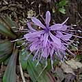 Heloniopsis orientalis, Mari Kitama