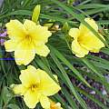 Hemerocallis 'Stella de Oro', David Pilling