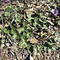Hepatica nobilis, John Lonsdale