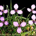 Herbertia lahue ssp. caerulea, Bill Dijk