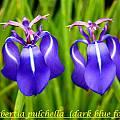 Herbertia pulchella, Bill Dijk