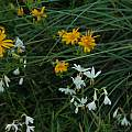 Hesperantha bachmannii, Namaqualand, Mary Sue Ittner