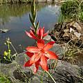Hesperantha coccinea, Cathcart, Cameron McMaster