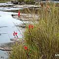 Hesperantha coccinea, Rockford Bridge, Cameron McMaster