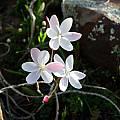 Hesperantha cucullata, Middelpos, Cameron McMaster