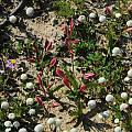 Hesperantha cucullata, Middelpos, Mary Sue Ittner