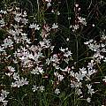 Hesperantha cucullata, Nieuwoudtville, Bob Rutemoeller
