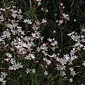 Hesperantha cucullata, Bob Rutemoeller