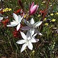 Hesperantha cucullata, Nieuwoudtville Reserve, Cameron McMaster